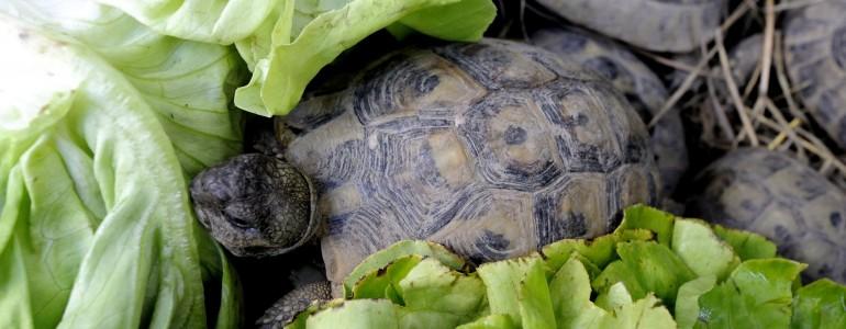 Visszakerülnek természetes élőhelyükre a Magyarországra csempészett teknősök