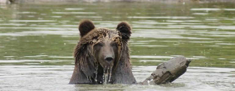 Így hűsölnek a medvék Veresegyházon