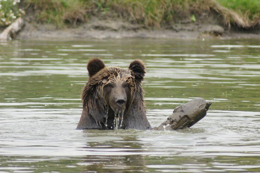 veresegyház medve