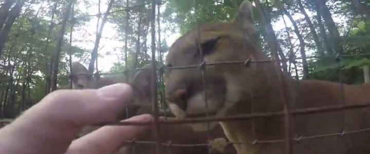 Átmászott a kerítésen, hogy megsimogassa a pumákat