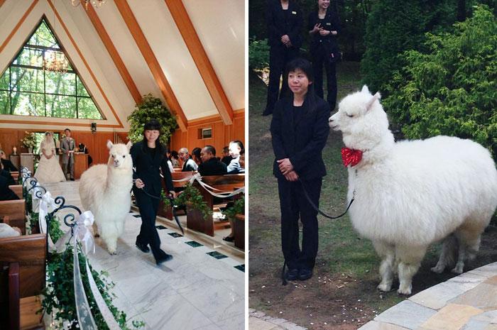 Japánban egy alpakát is felkérhetsz esküvői tanúnak