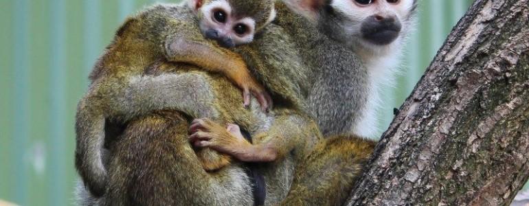 Szépen fejlődnek a jászberényi mókusmajom csemeték
