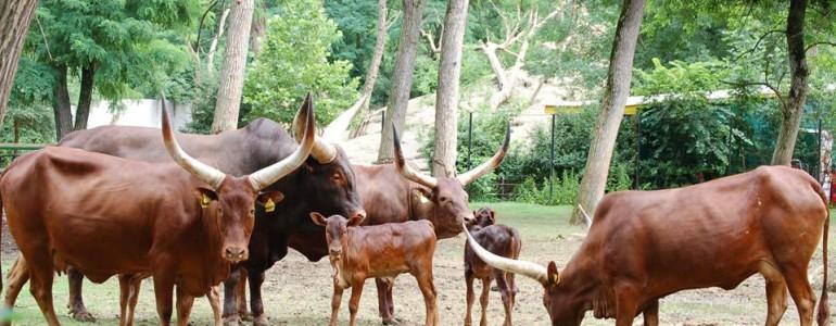 Watusi marhák születtek a Nyíregyházi Állatparkban