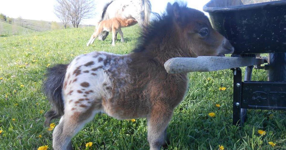 20 törpe ló, aki elrabolja a szívedet