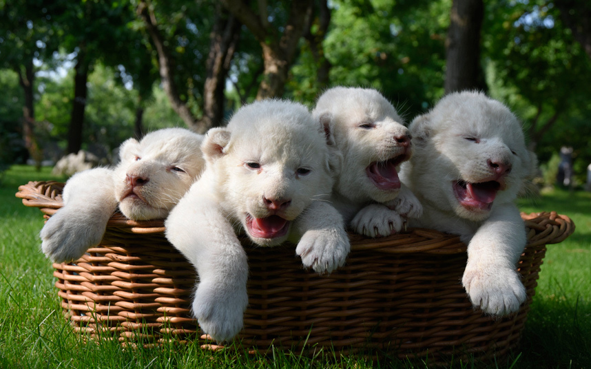 Ez a kosárnyi fehér oroszlánkölyök lesz a napod megmentője