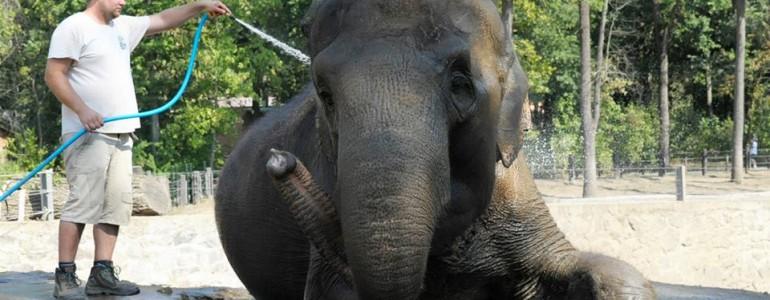 Slaggal hűtik magukat a nyíregyházi elefántok