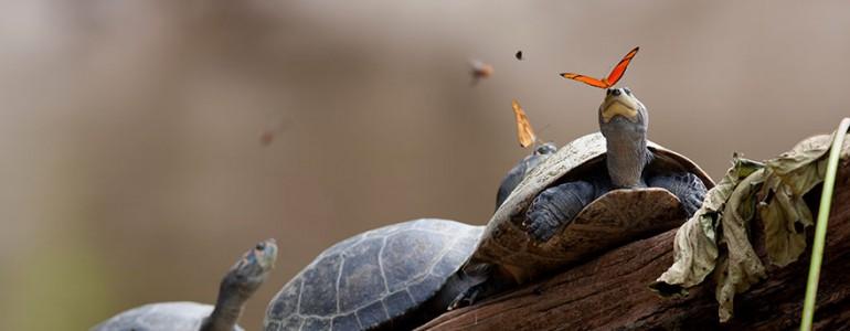 Teknős- és aligátorkönnyeket isznak ezek a pillangók