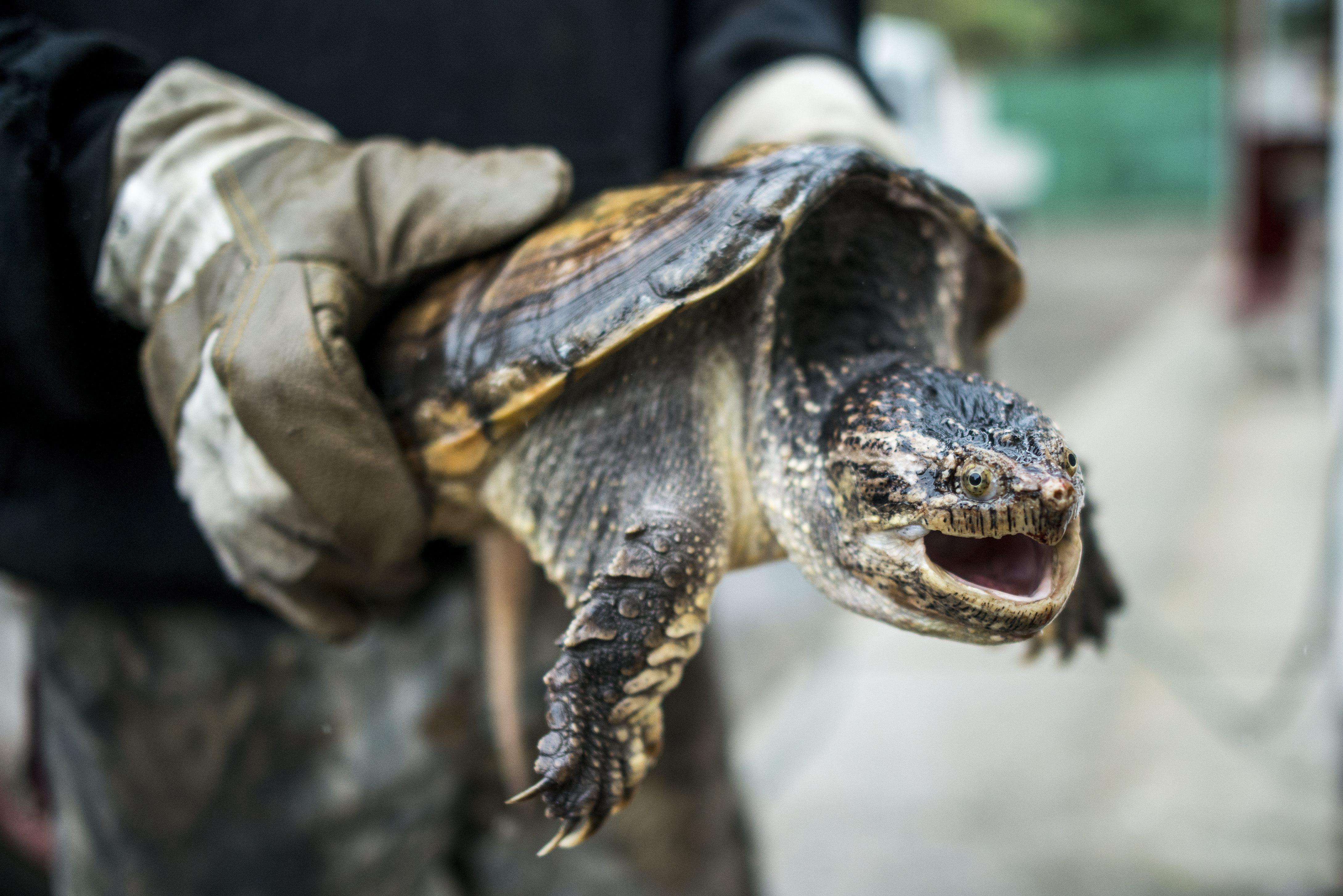 Veszélyes aligátorteknősre bukkantak Törökbálinton