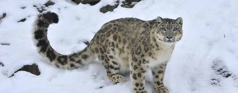 Jobban hasonlít a hópárduc a házi macskákra, mint eddig gondoltuk
