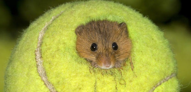 Használt teniszlabdákban élnek a törpeegerek Nagy-Britanniában