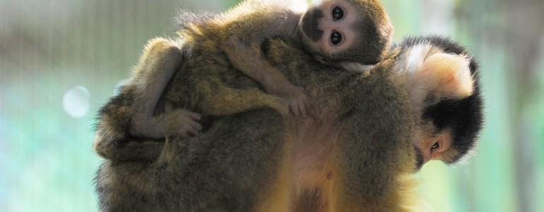 Ritka mókusmajom született Nyíregyházán