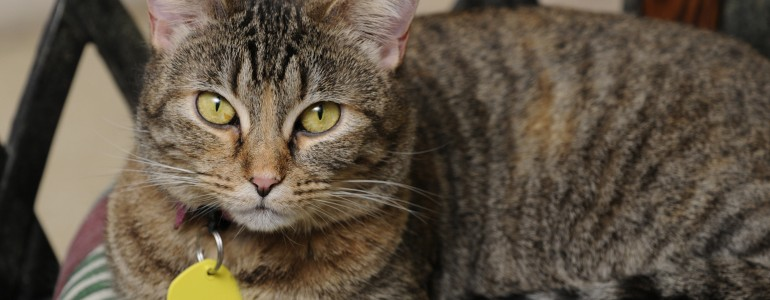 A kutyákéval megegyező jogokat követelnek az angol gazdik macskáknak is