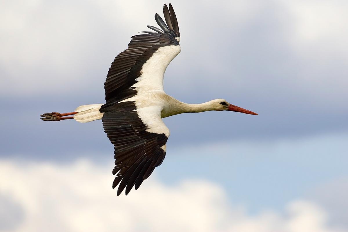 A szokottnál korábban kezdték meg vándorlásukat a magyar gólyák