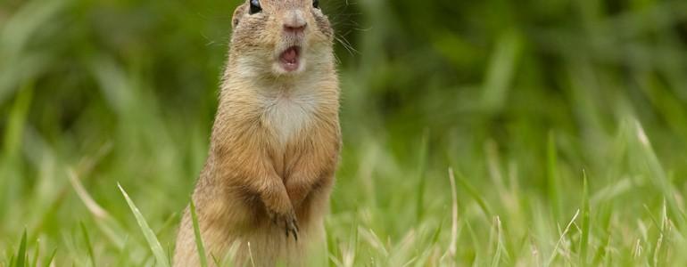 Állatkertekben kapnak új otthont a reptéren élő ürgék