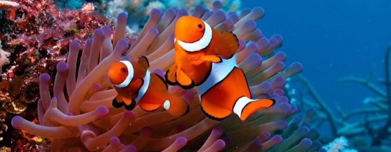 Jót tett a bohóchalaknak a globális felmelegedés