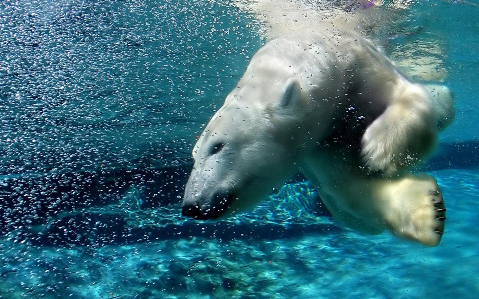 Rekordot döntött egy jegesmedve a víz alatt
