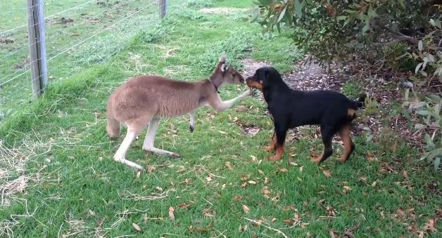 Egymással játszó kutya és kenguru a mai nap legcukibb párosa