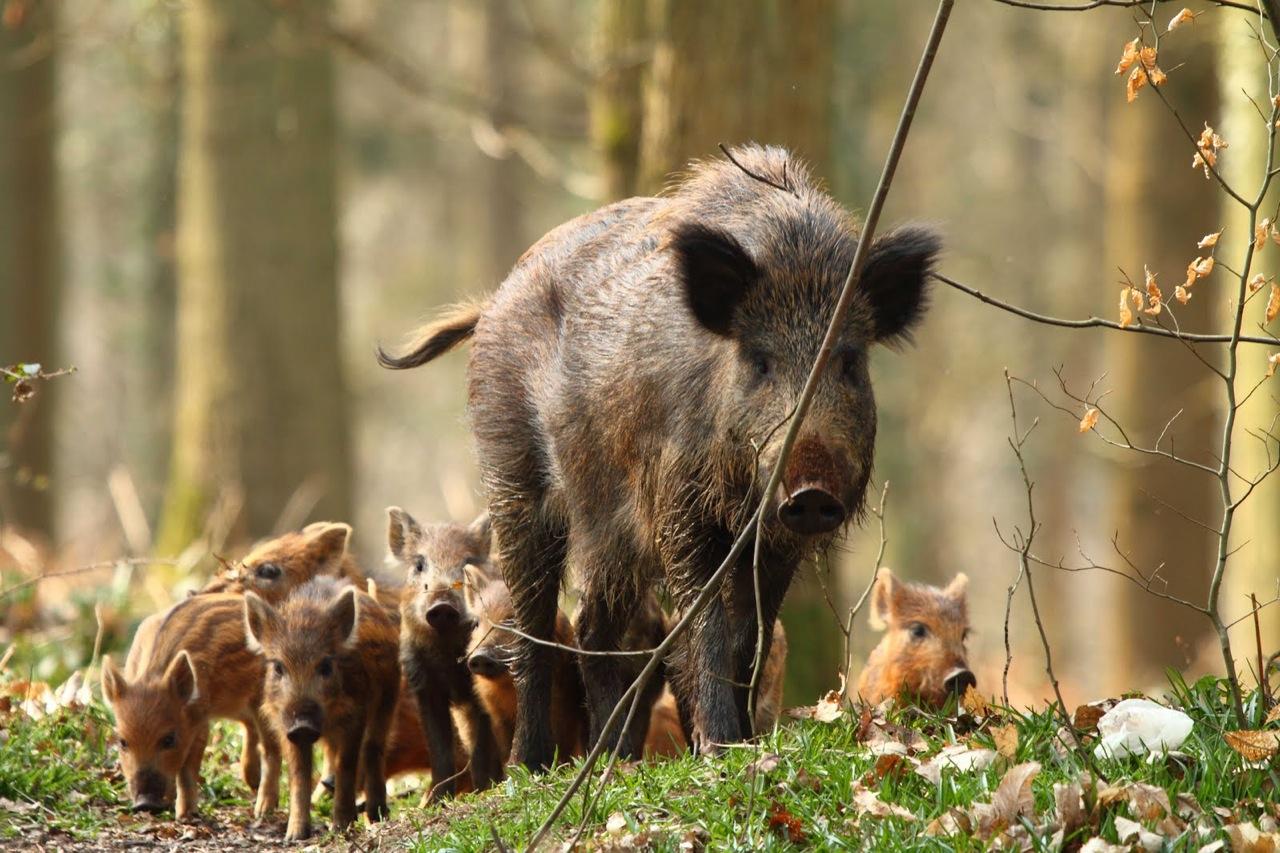 Az enyhe telek okozták a vaddisznók elszaporodását