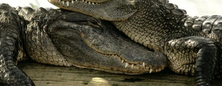 Megháromszorozódott a krokodilok száma az utóbbi harminc évben Nyugat-Ausztráliában