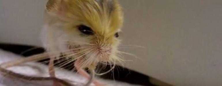 Valószínűtlenül pici, és hihetetlenül aranyos a világ legkisebb rágcsálója