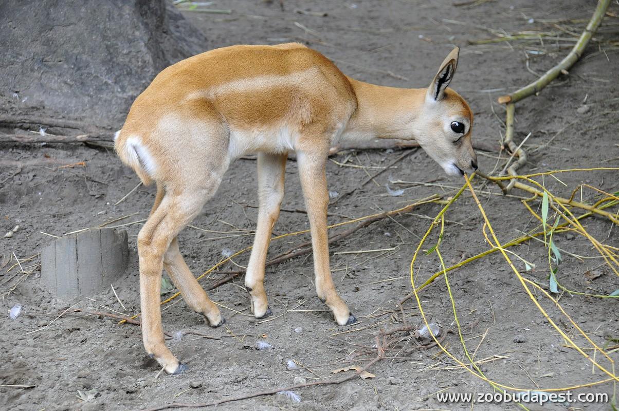 Két indiai antilop született Budapesten