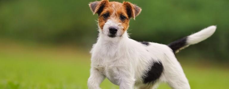 6 kutyafajta, aki jobban kedveli az embereket, mint a fajtársait
