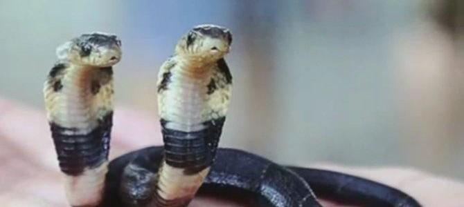 Őrület! Kétfejű kobra született Kínában