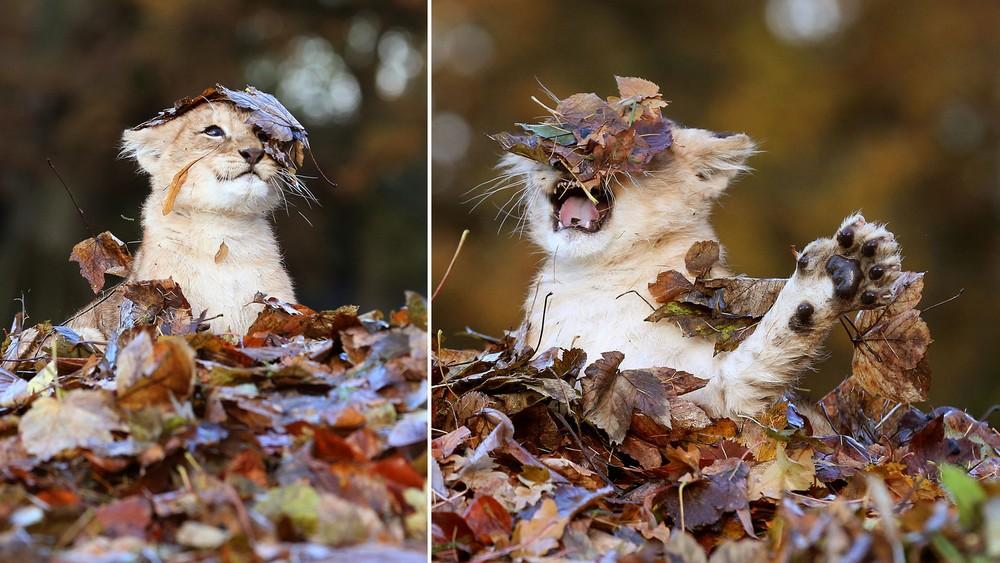 Őszi falevelek között játszó kis oroszlánra van szükséged, és minden sokkal jobb lesz