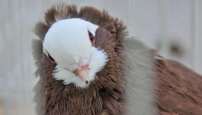 Tizedszer rendezik meg egy hungarikum galambfajta tenyésztőinek találkozóját