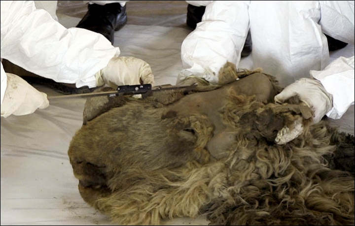 Harmincnégyezer éves Szása, az egyetlen gyapjas orrszarvúborjú