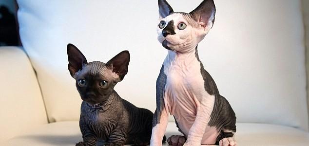 Íme két új macskafajta, akiknél ma már nem lesz aranyosabb