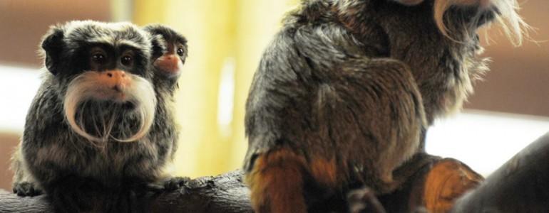 Császárbajszú tamarin ikrek születtek a Nyíregyházi Állatparkban
