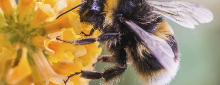 Önmagukat gyógyítják a természetben élő poszméhek