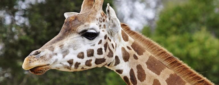 Ilyen hangot adnak ki éjszaka a zsiráfok