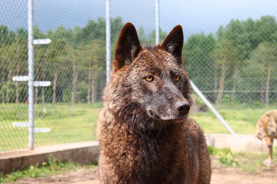 Versenyfutás a farkasokkal