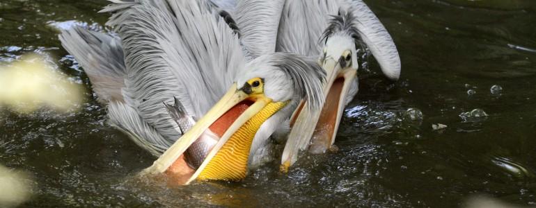 Vörhenyes pelikánok érkeztek a Jászberényi Állatkertbe