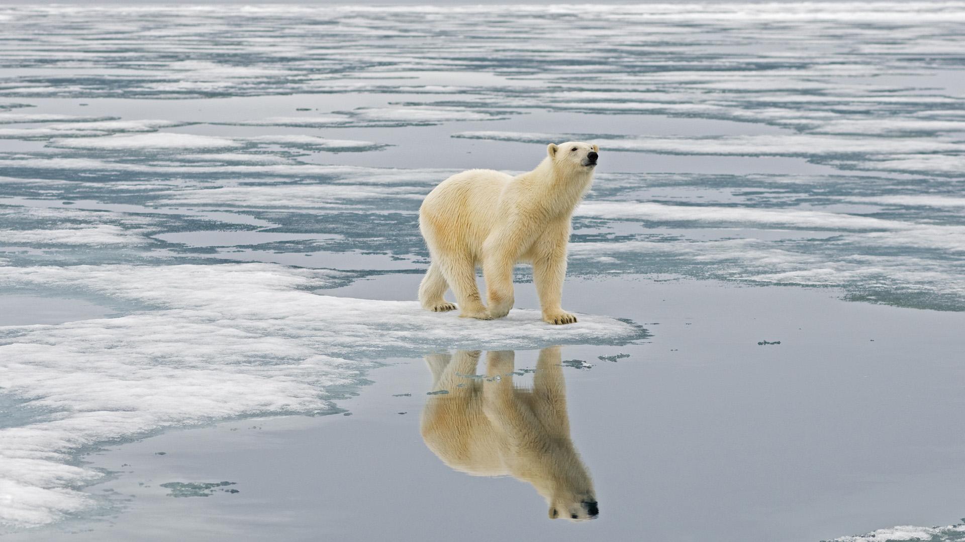 Mégis túlélhetik a jegesmedvék a klímaváltozást?