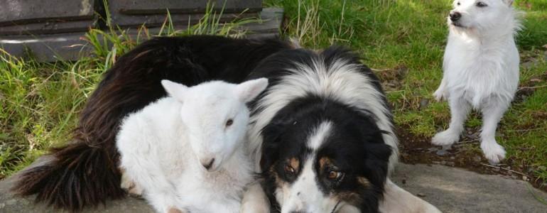 Kutyának hiszi magát az árván maradt bárány