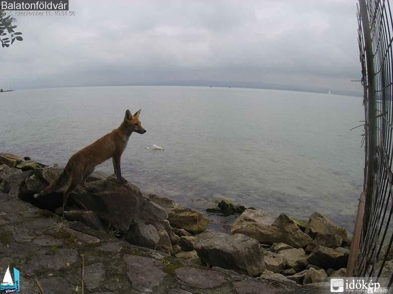 Balaton parton nézelődő rókát kapott le a webkamera