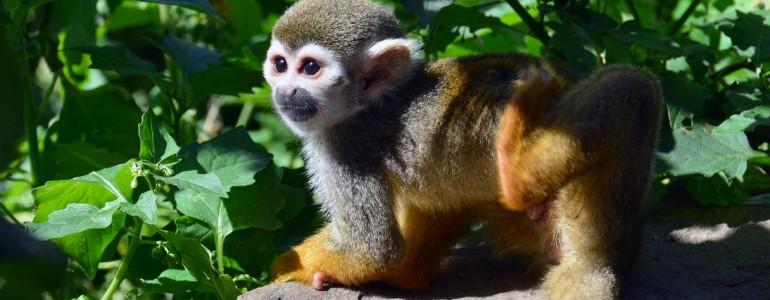 Igazi rosszcsont a Fővárosi Állatkert mókusmajom kölyke