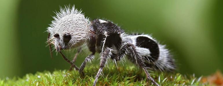 Aranyos ez a szőrös hangya, igaz? Épp olyan veszélyes is!