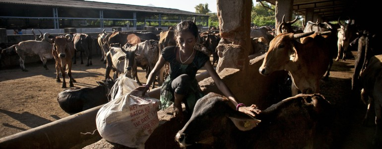 Indiában külön nyugdíjas otthon fogadja az idősödő teheneket