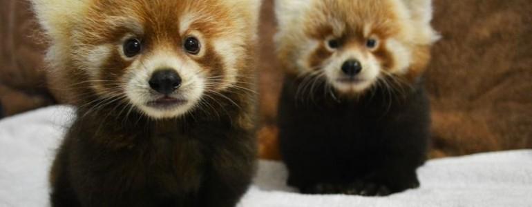 Újszülött vörös macskamedvéknek örülnek a Rosamond Gifford Állatkert gondozói