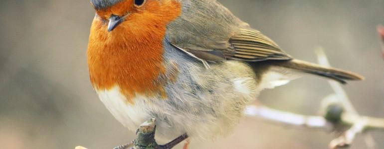 Az idősebb, fogságban tartott madarak is képesek a tájékozódásra