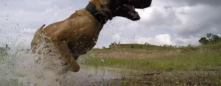 Ez a kutya védi a világ utolsó hím fehér orrszarvúját