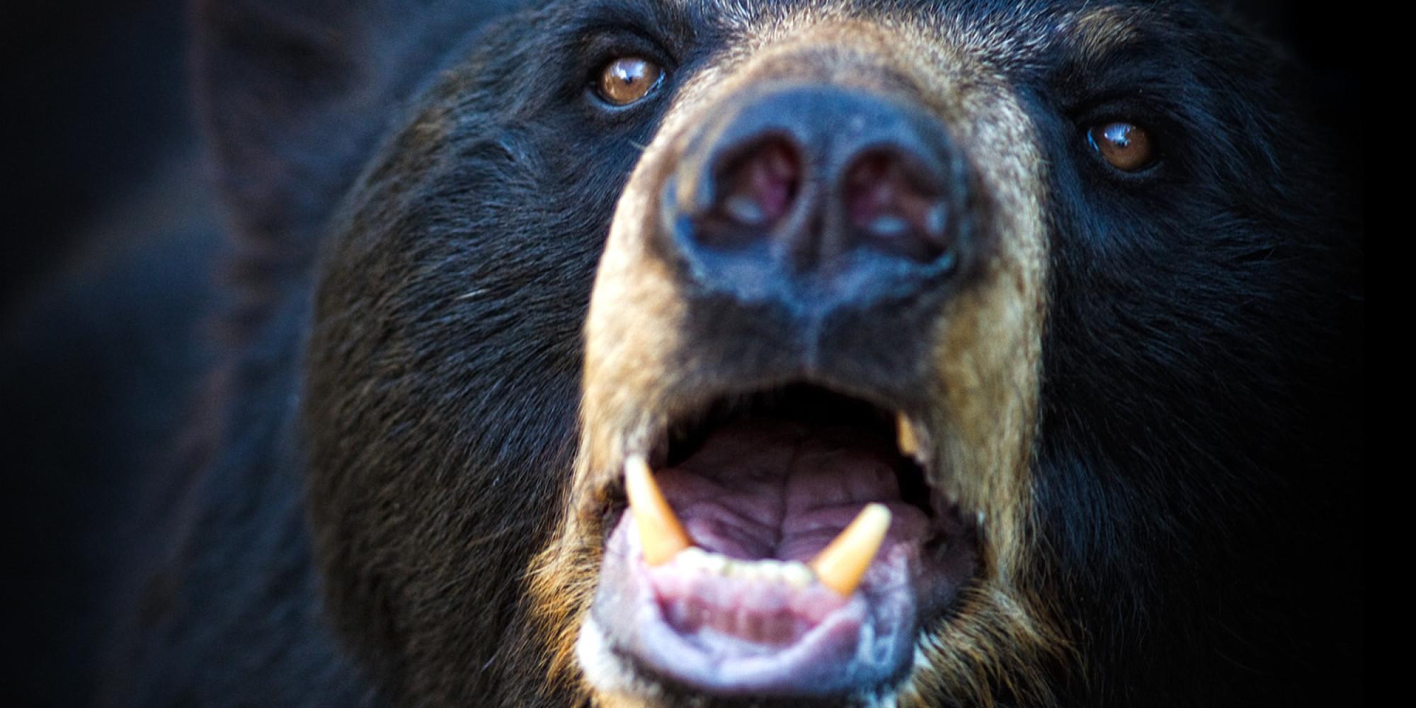 Összesen 300 fekete medvét lőttek ki Floridában