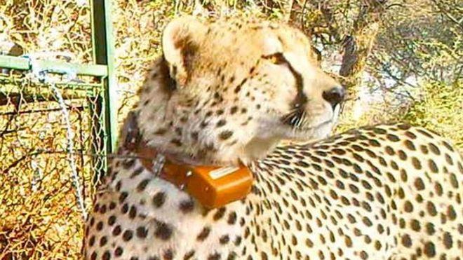 Újabb híres vadállat lett az orvvadászok prédája