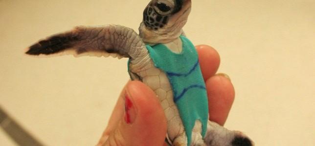 Különleges és fontos oka van, hogy fürdőruhát kaptak ezek a teknősök