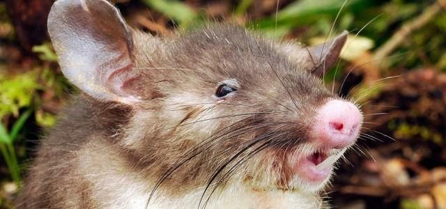 Malacorrú patkányt fedeztek fel indonéziában