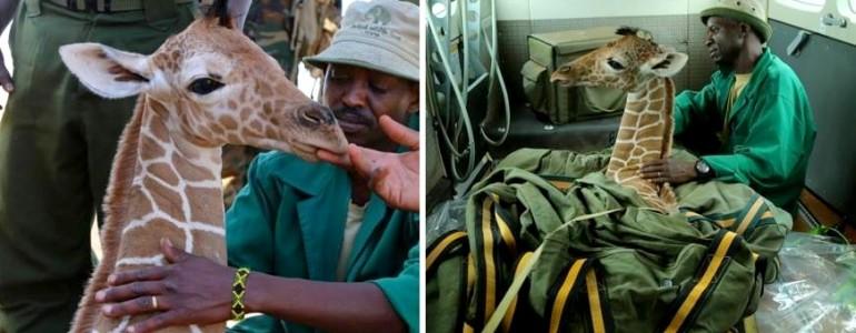 Ragaszkodik megmentőihez az elárvult kis zsiráf